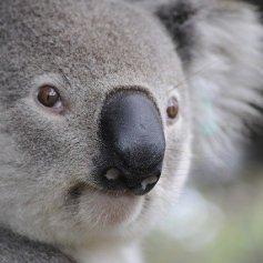 koala-630117_640